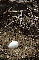 Mönchsgeier, Nest, Horst, Gelege mit Ei, Mönchs-Geier, Geier, Aegypius monachus, black vulture, Monk Vulture, Cinereous Vulture