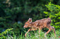Columbian black-tailed deer (Odocoileus hemionus columbianus) fawn walking walking along edge of forest meadow.  Pacific Northwest.  Summer.