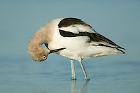 American Avocet (Recurvirostra americana) preening its feathers while standing in shallow water