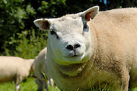 Close-up of a Beltex ewe's head, Shropshire.