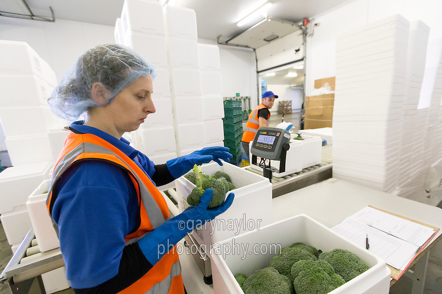 Packing calabrese into ice boxes in farm packhouse - Lincolnshire, June