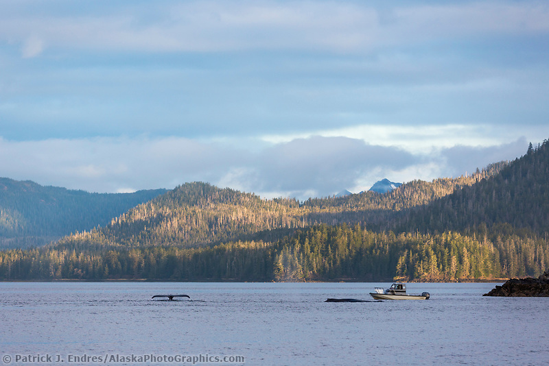 Humpback whales feed on Herring in the Sitka Sound area, southeast, Alaska.