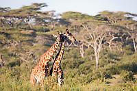 Masai giraffe, Serengeti National Park, Tanzania, East Africa
