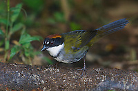Chestnut-capped Brush-Finch, Buarremon brunneinucha, adult, Bosque de Paz, Central Valley, Costa Rica, Central America