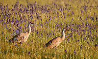 Sandhill Cranes, Oregon