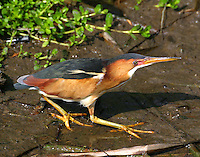 Least bittern adult male fishing