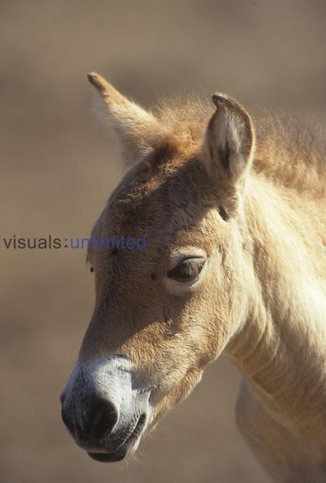 Tarpan Horse or Przewalski's Horse head (Equus przewalskii).