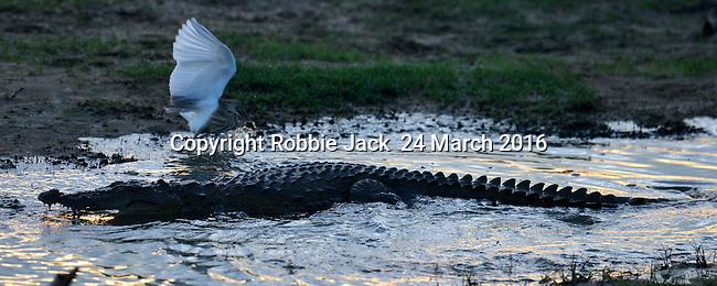 Yala National Park Sri Lanka<br /> Crocodile and Pond Heron