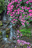 ORPTC_D131 - USA, Oregon, Portland, Crystal Springs Rhododendron Garden, Rhododendron blooms alongside waterfall and ferns.
