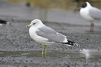 Common Gull Larus canus - Winter adult. L 40-42cm. Medium-sized gull. Slimmer bodied and smaller billed, than larger Herring Gull. Sexes are similar. Adult in summer has grey back and upperwings with white trailing margin; black wingtips have white spots. Plumage is otherwise white. Bill is yellowish and legs are yellowish green. In winter, similar but with dark streaks on head and neck; bill is duller with dark sub-terminal band. Juvenile has pale-margined brown back feathers and upperwings. Head and underparts are pale with dark streaks while neck and breast look grubby. Adult plumage acquired over 2 years. 1st winter is similar to juvenile but has grey back; bill is pink with dark tip. 2nd winter is similar to adult but with more black on outerwing and broader band on bill. Voice Utters a mewing keeow. Status Locally common. Nests close to water, often inland. Outside breeding season, migrants from Europe boost numbers and then widespread on farmland and grassy fields.