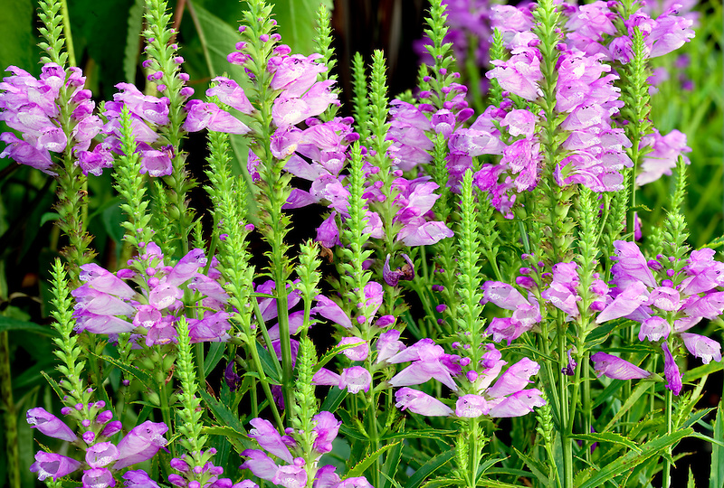 'Vivid' Obedient Plant (Physostegia 'Vivid'} blossoms. Al's Garden Center. Oregon
