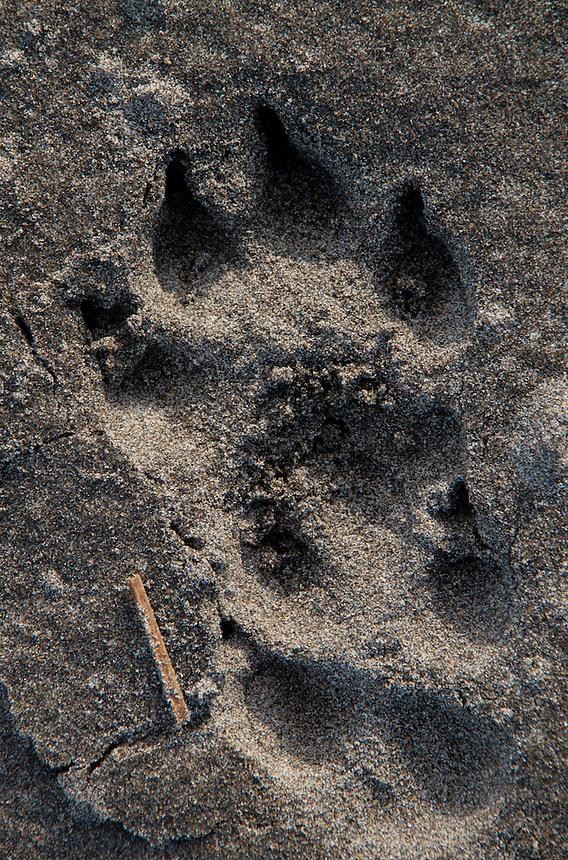 Black Bear (Ursus americanus) Paw Print in Sand at Loomis Lake State Park, Long Beach, Washington, US