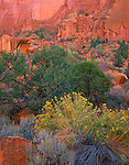Grand Staircase - Escalante National Monument, UT<br /> Yellow flowering rabbitbrush paired with Pinyon Pine against the red cliffs in Long Canyon along the Burr Trail road