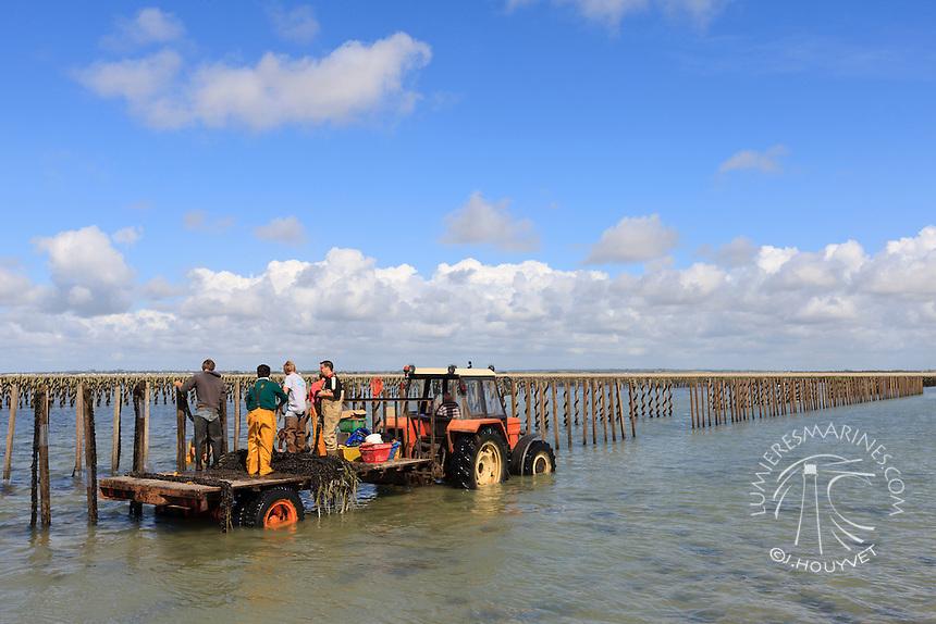 France, Normandie, Manche (50), Cotentin, conchlyliculture, myticuture, moules de bouchot // France, Normandy, Manche, Cotentin, mussles farms (aerial view)