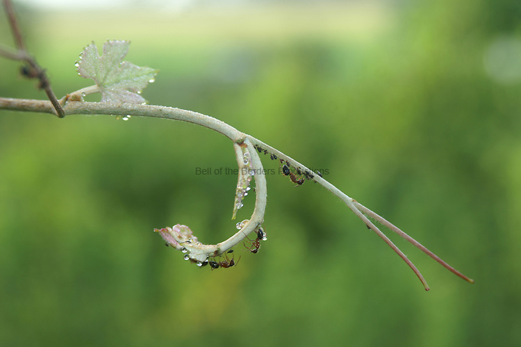 The ants are tending their aphids on a grape vine tendril.  The aphiids provide the ants with nectar.  The vine tendril is covered with morning dew.