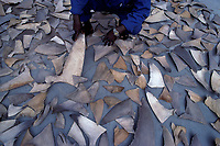 drying shark fins to ship to Hong-Kong for shark fin soup and medicine, Natal Sharks Board, South Africa