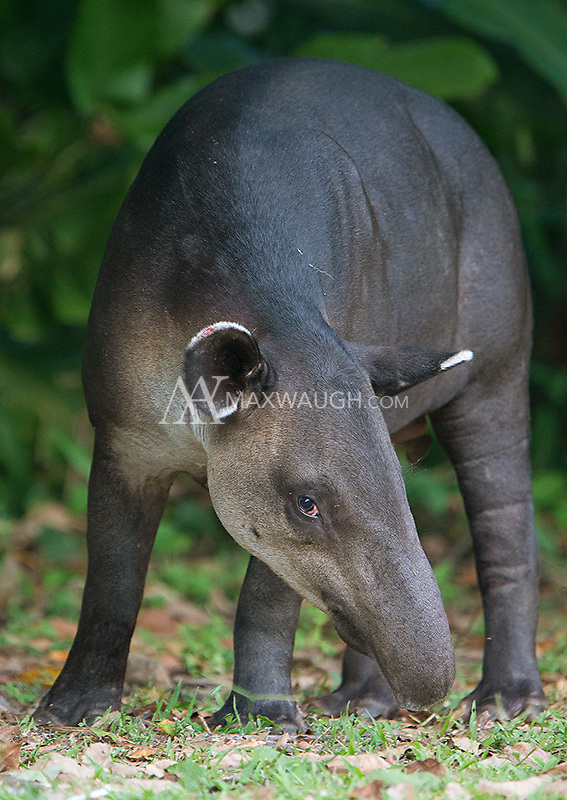 Corcovado may be the best place on earth to spot the Baird's tapir, Central America's largest native land mammal.