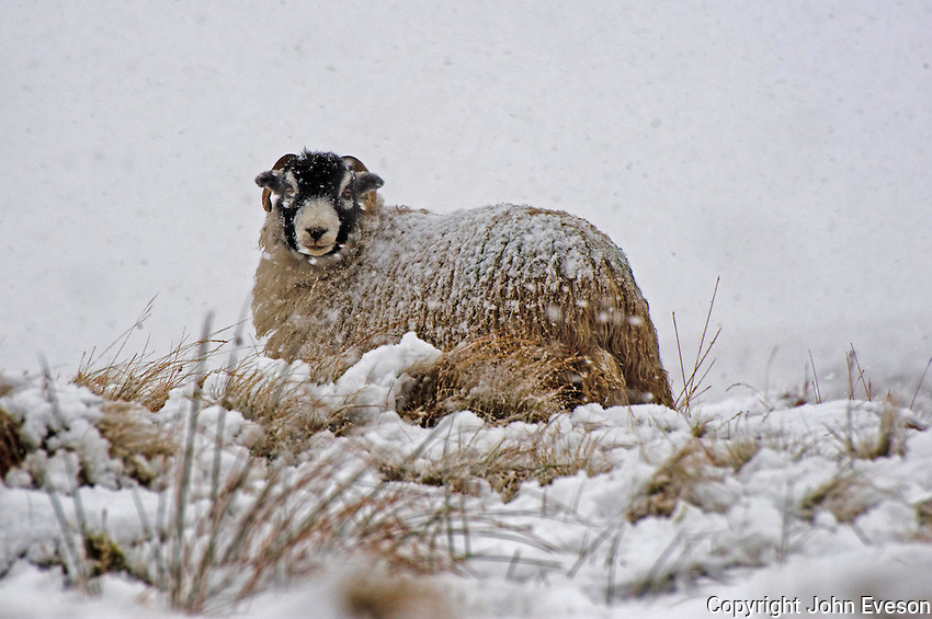 Swaledale ewe in the snow, Bentham, North Yorkshire....Copyright..John Eveson, Dinkling Green Farm, Whitewell, Clitheroe, Lancashire. BB7 3BN.01995 61280. 07973 482705.j.r.eveson@btinternet.com.www.johneveson.com