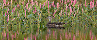 Wood duck swimming near smartweed