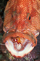 tomato grouper, Cephalopholis sonnerati, being cleaned by humpback cleaner shrimp, Lysmata amboinensis, Mabul Island, Sabah, Borneo, Malaysia