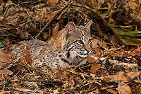 611000006 a captive bobcat felis rufus lies in fallen leaves animal is a wildlife rescue native to north america