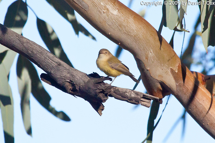 Weebill, East McDowell Mtns, NT Outback, Australia
