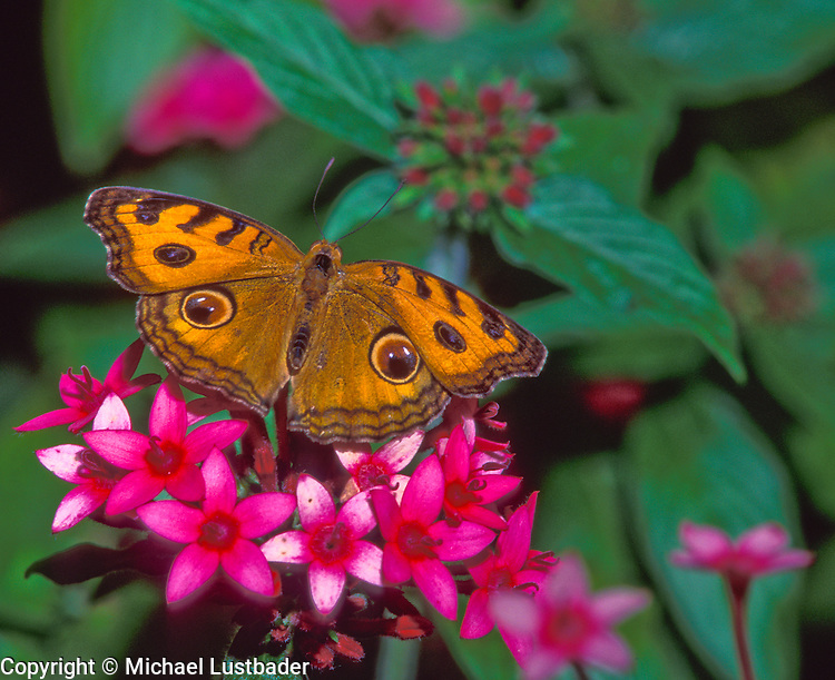 Peacock Pansy or Buckeye (Junonia almana), butterfly, insect, garden