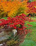 """Vashon Island, WA<br /> Japanese lantern and vibrant fall foliage of Japanese maples (Acer palmatum 'Oregon sunset' and """"Seiru')"""
