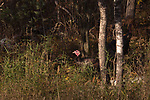 The sunlight exposes a wild turkey hidden in a northern Wisconsin woodland.  A second turkey is in the shadows.