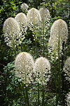White Beargrass blooming in a meadow near Queen Lake trail in Idaho