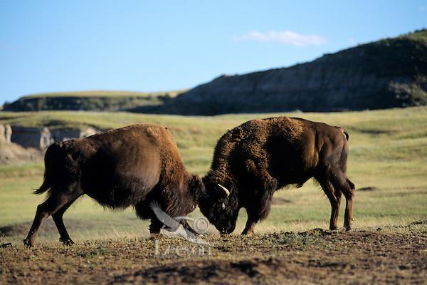 Bull Bison (Bison bison) fighting-sparring, Theodore Roosevelt National Park, North Dakota, summer.