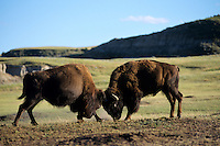Bull Bison (Bison bison) fighting-sparring, Theodore Roosevelt National Park, North Dakota, summer.