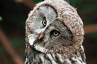Ural Owl (Strix uralensis) in the Nuremberg Zoo, Nuremberg, Middle Franconia, Bavaria, Germany, Europe