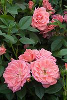 Rosa Pink Pirouette aka Harboul patio rose medium pink