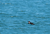 Surf Scoter, Melanitta perspicillata, swimming in Bodega Bay, California