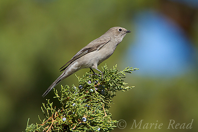 Townsend's Solitaire (Myadestes townsendii), calling while perched on Western (=Sierra) Juniper in autumn, Mono Lake Basin, California, USA. Solitaires use song and calls to defend fruiting junipers  as winter food source.