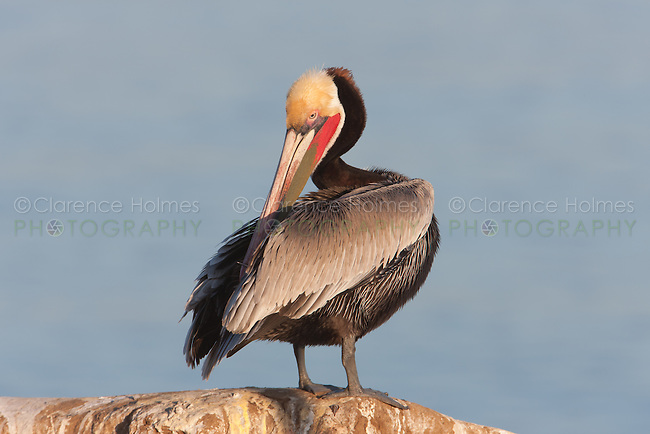California Brown Pelican (Pelecanus occidentalis) stretching and preening on a cliff over the Pacific ocean