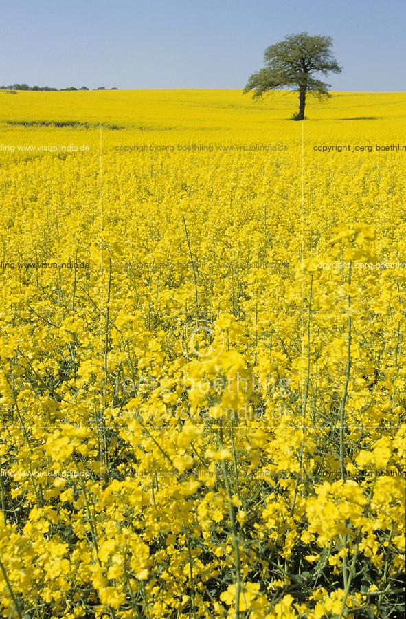 Deutschland, Eiche und Feld mit Raps in Schleswig Holstein, Raps wird zu Biokraftstoffen verarbeitet / GERMANY, field with rape seed and oak tree, rape seed oil is used for biofuel