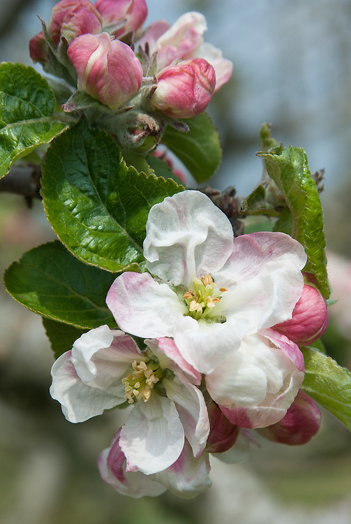 Blossom of Apple 'Bedford Pippin', late April.