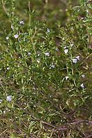 Sommer-Bohnenkraut, Gartenbohnenkraut, Sommerbohnenkraut, Garten-Bohnenkraut, Bohnenkraut, Satureja hortensis, Summer savory, savory