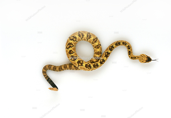 Black-tailed Rattlesnake, Crotalus molossus, studio portrait, ideal for cutout