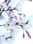 Sakura Japanese cherry blossom beautiful closeup of flowers in morning light