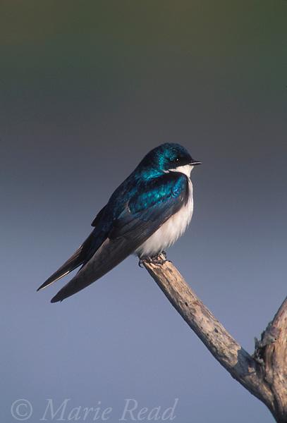 Tree Swallow (Tachycineta bicolor), New York, USA <br /> Slide # B114-214