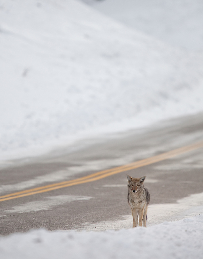 An individual coyote stands alongside the North road during the winter in Yellowstone National Park.