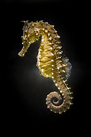 lined seahorse, northern seahorse, or spotted seahorse, Hippocampus erectus, vulnerable species, Atlantic Ocean (c)