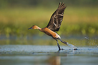 Fulvous Whistling-Duck (Dendrocygna bicolor), adult taking off, Sinton, Corpus Christi, Coastal Bend, Texas, USA