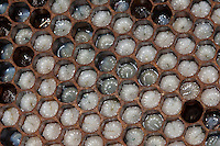 Honigbiene, Bienen, Larve, Larven, Made, Maden in den Waben, Imkerei, Imker, Honig-Biene, Biene, Apis mellifera, Apis mellifica, honey bee, hive bee