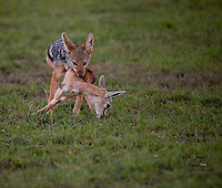Black-backed Jackal male with Thompson's Gazelle carcass, Masai Mara, Kenya.