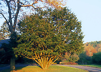 Japanese Yew Taxus cuspidata Thayere showing entire tree in landscape, in late afternoon sun
