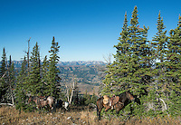 Horses on Greyback Ridge in the Hoeback Drainage of Wyoming Region H, in Wyoming, September 21, 2015.<br /> <br /> Photo by Matt Nager